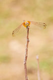 Dragonfly on treetops Stock Photography