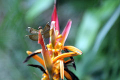Dragonfly on tropical flower Stock Image