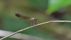 Dragonfly in tropical rain forest. stock video