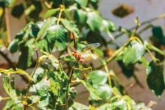 Dragonfly, turtledove background. Unit isolate Royalty Free Stock Photos