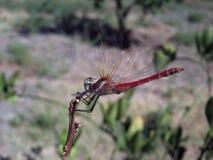 Dragonfly, turtledove. Background unit isolate Stock Image