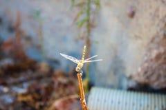 Dragonfly, turtledove background. Unit isolate Royalty Free Stock Photography