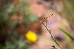 Dragonfly. On twig royalty free stock images