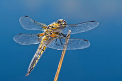Dragonfly on a twig on a blue background Stock Photos