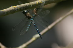 Dragonfly on Twig Royalty Free Stock Image