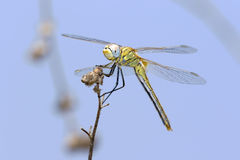 Dragonfly on a twig Royalty Free Stock Image