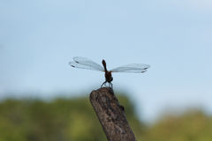 Dragonfly on a twig. Royalty Free Stock Photo