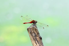 Dragonfly on a twig. Royalty Free Stock Image