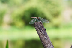 Dragonfly on a twig. Stock Photo