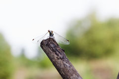 Dragonfly on a twig. Stock Images