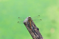 Dragonfly on a twig. Stock Photos
