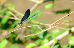 Dragonfly on a twig Stock Images