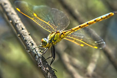 Dragonfly on a Twig Stock Image