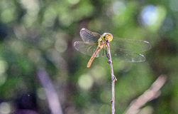 Dragonfly on a twig Royalty Free Stock Images
