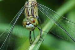 Dragonfly tygrysy Obraz Royalty Free