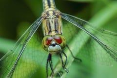 Dragonfly tygrysy Zdjęcie Stock