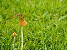 dragonfly umieszczający na pieczarce Fotografia Stock