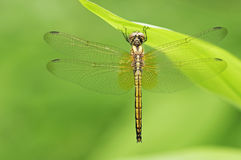 Dragonfly under grass leaf Royalty Free Stock Photos