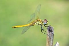 Dragonfly up zamknięty Fotografia Stock