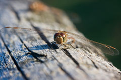 Dragonfly, Vagrant Darter Stock Photos
