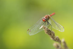 Dragonfly - Vagrant Darter Stock Image