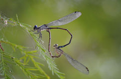 Dragonfly Valentine. Two dragonflies mate while their bodies form the shape of a heart Royalty Free Stock Images