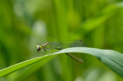 Dragonfly (Variable Damselfly) Royalty Free Stock Photography