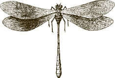 Dragonfly. Vector drawing of the big dragonfly vector illustration