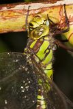Dragonfly in very detailed view Royalty Free Stock Image