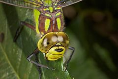 Dragonfly in very detailed view Stock Images