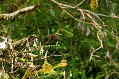 Dragonfly in vietnamese forest. Dragonfly sitting on a branch stock image