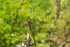 Dragonfly in vietnamese forest. Dragonfly sitting on a branch royalty free stock photos