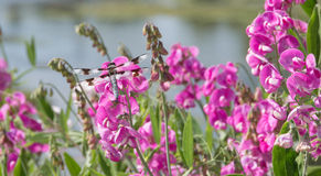Dragonfly on vivid pink wildflowers. Close up of  semi-sheer black and white dragonfly perched on vivid pink wildflowers, horizontal at Eugene, Oregon, Delta Royalty Free Stock Photography