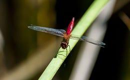 Dragonfly w Arizona zdjęcia royalty free