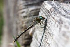 Dragonfly w bagażniku Obraz Royalty Free