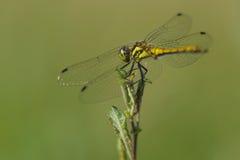 Dragonfly w lecie Obraz Royalty Free