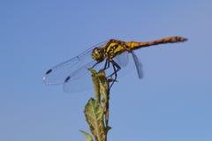 Dragonfly w lecie Zdjęcia Stock
