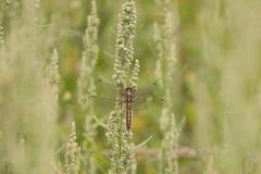 Dragonfly w makro- Obrazy Royalty Free