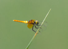 Dragonfly w naturalnym świetle fotografia stock