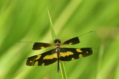 Dragonfly w natury zieleni tle Fotografia Royalty Free