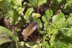 Dragonfly w ogródzie Zdjęcia Royalty Free