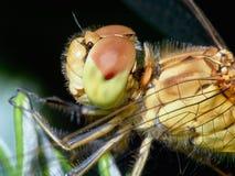 Dragonfly w ogródzie Obrazy Stock