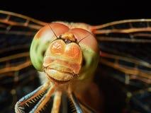 Dragonfly w ogródzie Fotografia Royalty Free
