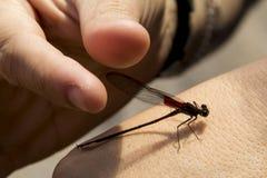 Dragonfly w ręce Zdjęcie Royalty Free