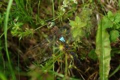 Dragonfly w trawie Obraz Stock