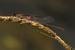 Dragonfly w winogradzie Obraz Stock