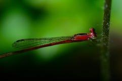 Dragonfly w zielonej świeżości Fotografia Stock