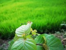 Dragonfly w zielonym ry?u polu zdjęcie stock