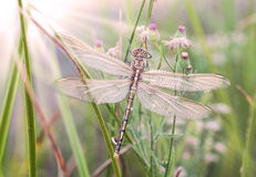 Dragonfly waiting for the sun Stock Images