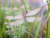 Dragonfly waiting for the sun Stock Photos
